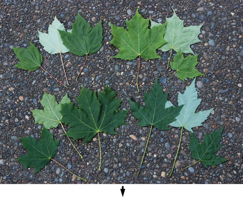 four common maple leaves