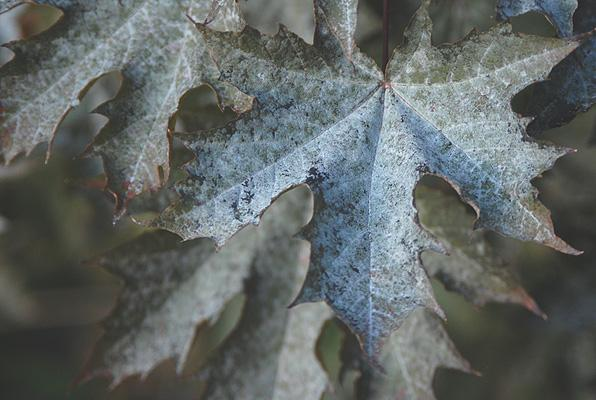leaf with severe powdery mildew