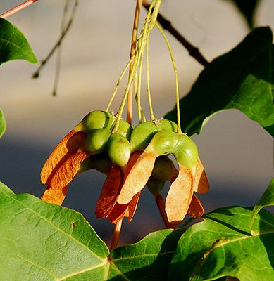Mature fruit