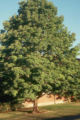 Decidulous tree, summer