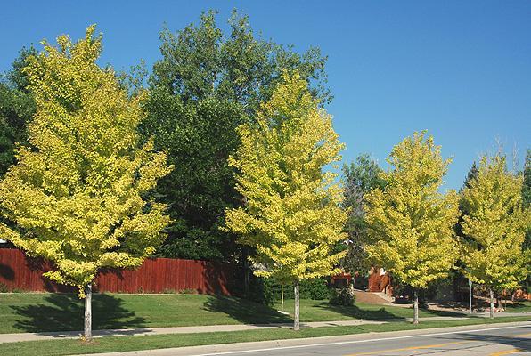 chlorotic trees, summer