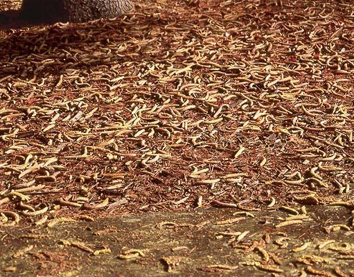 fallen male cones