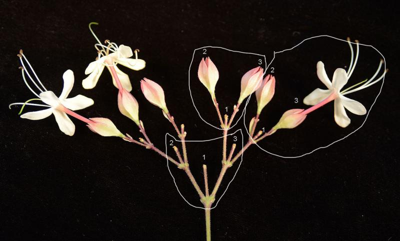 cyme inflorescence