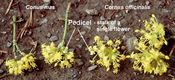 flowers, Cornus mas and Cornus officinalis
