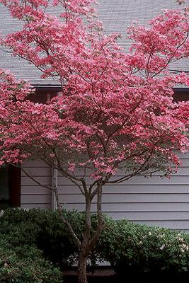 Flowering pink dogwood
