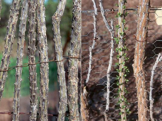 Ocotillo branches in fence