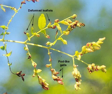 leaflets attacked by the pod gall midge
