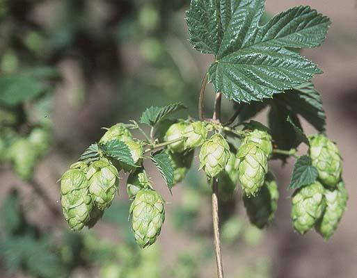 Humulus lupulus    [Common Hops]    Flower clusters