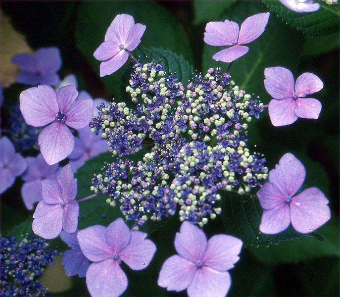 flower cluster, lacecap