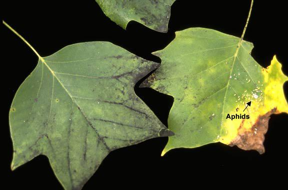 leaves, with aphids and sooty mold