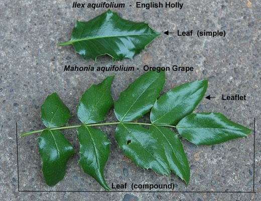 leaf  comparison with english holly leaf