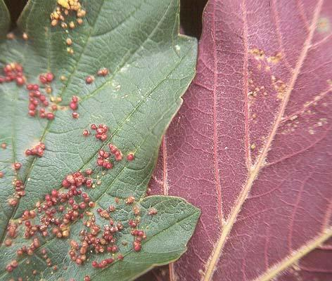 Leaf galls, caused by Maple Gallbladder Mite