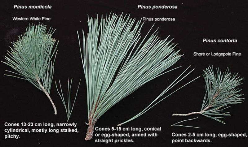 Three native Oregon pines