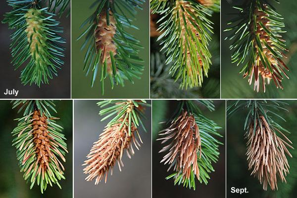 development of adelgid damage