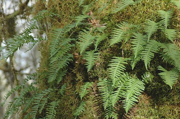 bigleaf maple trunk with licorice fern, Polypodium glycyrrhiza