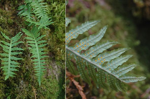 fronds of licorice fern, Polypodium glycyrrhiza
