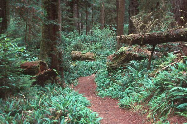typical redwood forest understory