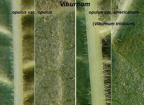 leaf underside, comparison
