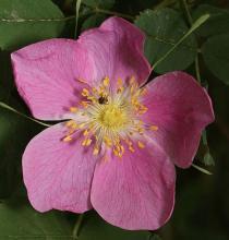 flower, (Wikipedia, Walter Seigmund)