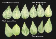 leaves, comparison with  <i>Abelia</i> 'Edward Goucher'
