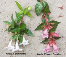 flowering shoots, comparison