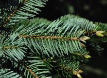 branchlet, needles, underside