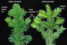 branchlet, comparison