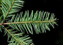 branchlet, underside
