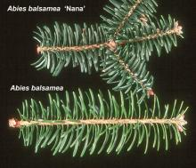 branchlets, comparison