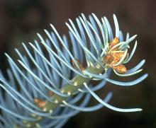 needles and terimal buds