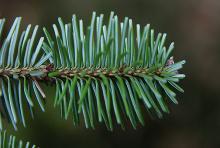 branchlet, lowerside
