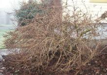 plant habit, early winter