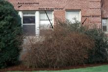 plant habit, winter defoliation