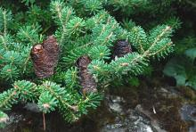cones and branchlets