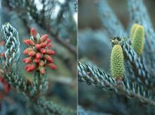 developing male and female cones