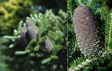 maturing cones