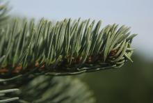 branchlet