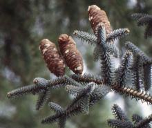 seed cones, mature