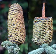 cones before and at seed dispersal