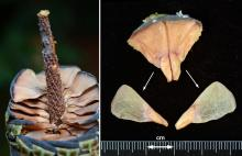 cone scale and seeds