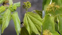 flower cluster development