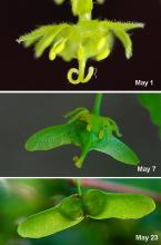 flower and early fruit development