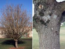 winter plant habit and trunk, bark