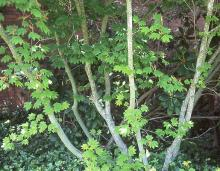 trunk, multi-stemmed