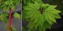 leafing out, spirng