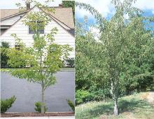 plant habit, young and older