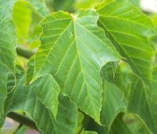 leaf, lobed