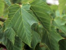 leaves, young tree