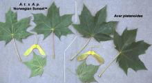 leaves and fruit, comparison