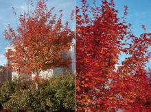 plant habit and branches, fall